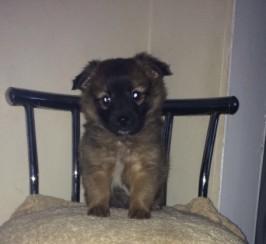 Puppy pommerian / jack