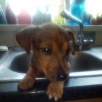Jack Russell Cross jack terrier