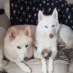 Pure White Siberian Huskies