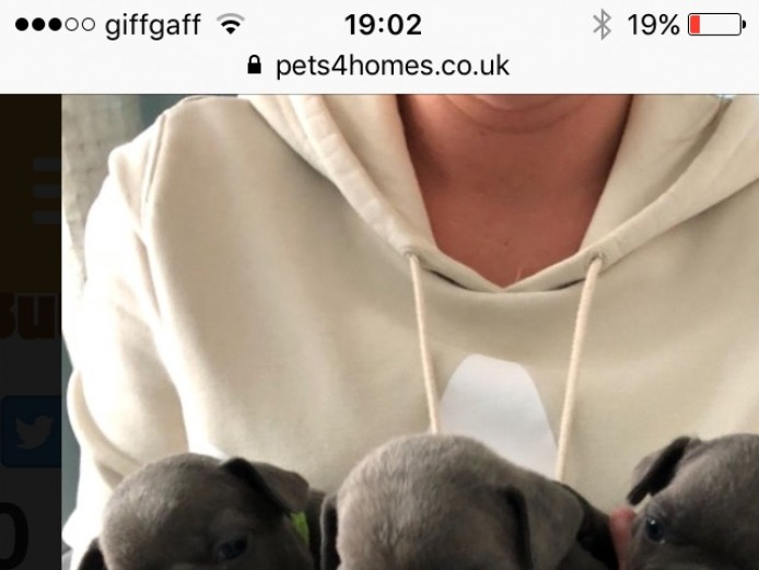 French bulldogs Manchester