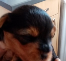 Pets  - Puppys for sale