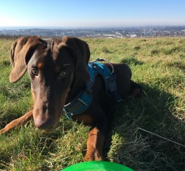 Pets  - Friendly 1-year old Doberman pup for sale with lots of extras