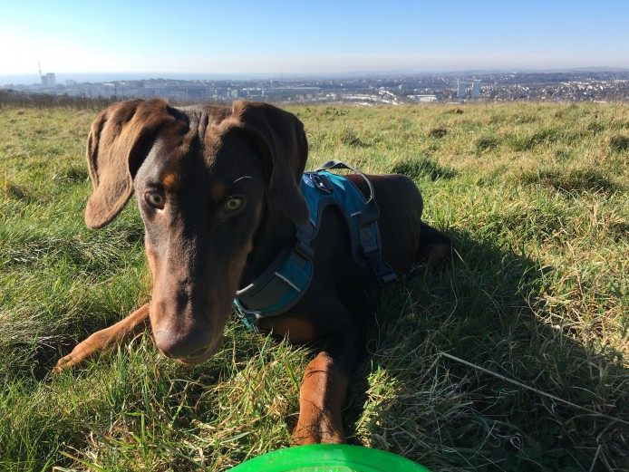 Friendly 1-year old Doberman pup for sale with lots of extras