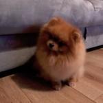 Handsome Pomeranian Boy for Stud
