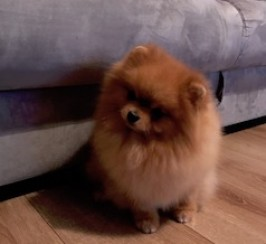 Handsome Pomeranian Boy for Stud