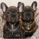 BEST Quality BLUE KC FRENCH BULLDOGS