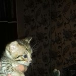 Beautiful F5 SBT Savannah kittens
