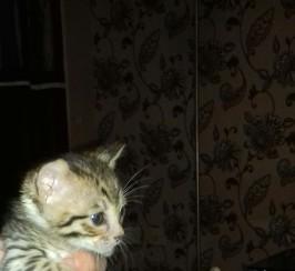 Beautiful F5 SBT Savannah kittens