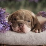 Quality Olde English Bulldog Pups
