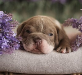 Quality Olde English Bulldog Pups