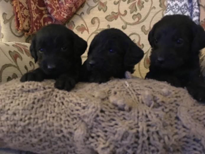 Labradoodle Puppies F1