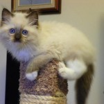 xi ki ti lo pi Purebred blue point Ragdoll kittens