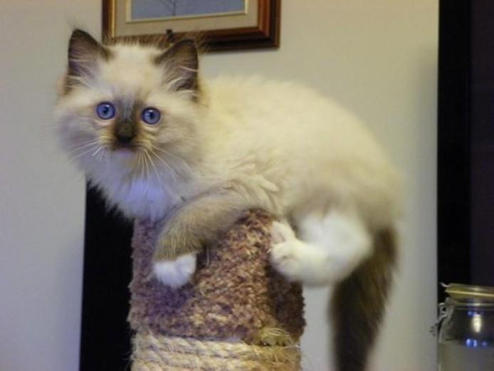 xi ki ti lo pi Purebred blue point Ragdoll kittens