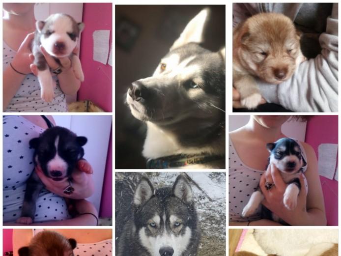 Wolf x puppies