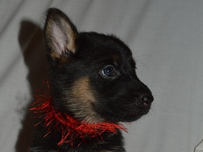 6 German Shepherds For Sale
