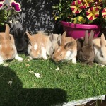 Superb Mini Rex Bucks VERY friendly