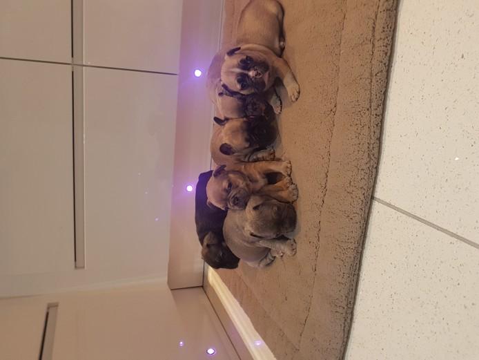 Superb quality KC Reg French bulldog pups