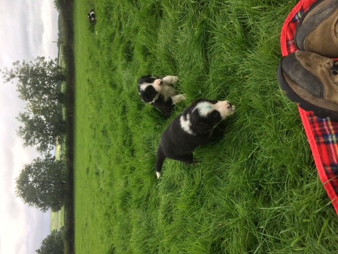 Border Collie Puppies ready for homes