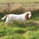 Fabulous Quality Basset Hound At Stud