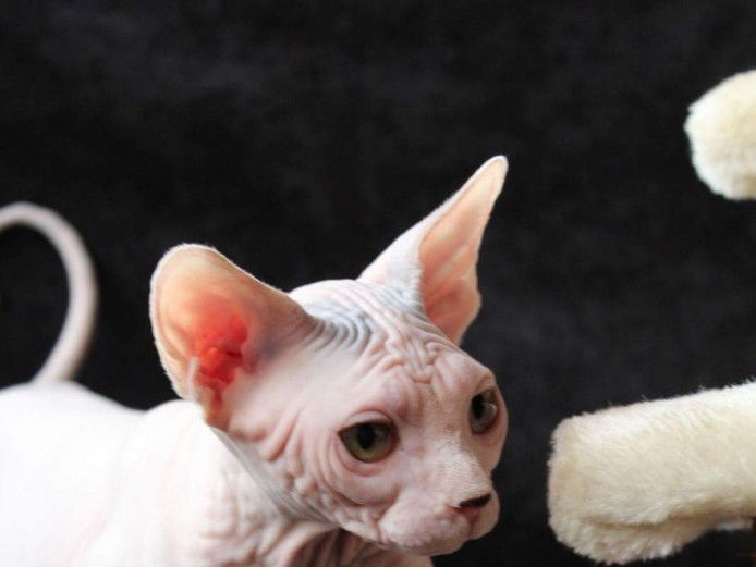 Gorgeous sphynx female looking for a new home