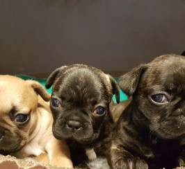 Six French Bulldog Puppies for Sale