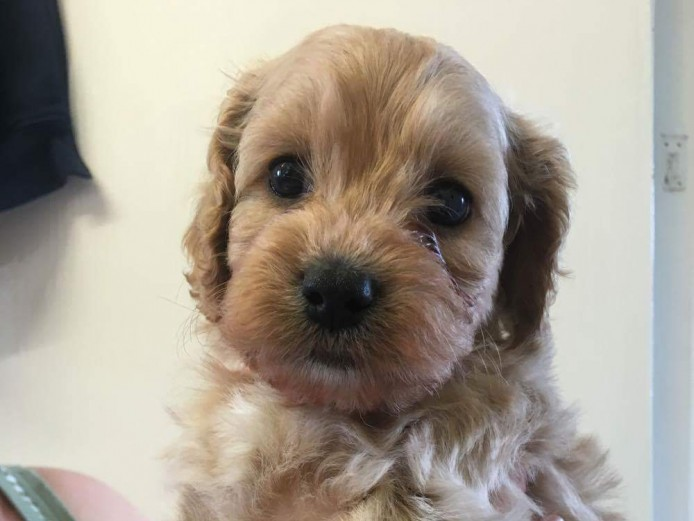 Adorable F1 Cockerpoo puppies for sale