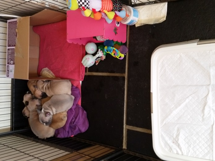 Stunning French Bulldog Babies Kc Reg True to Type