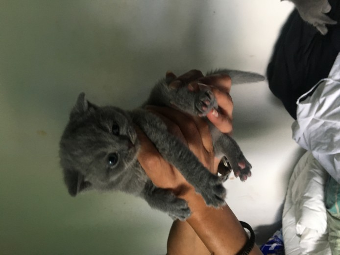 Beautiful Blue British Shorthair
