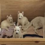 Pure White Siberian Huskies