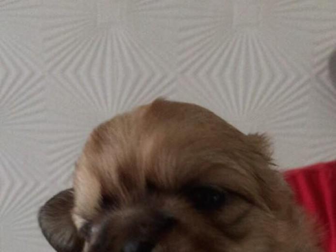 kc shih tzu puppys