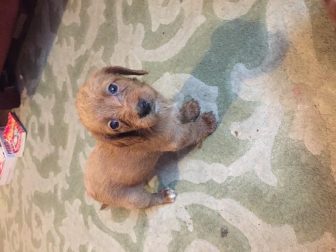 Bassetoodle Puppies