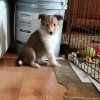 Pets  - Beautiful Shetland Sheepdog Puppies