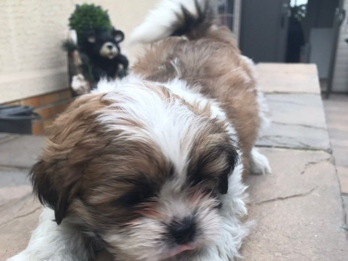Stunning Pedigree Lhasa Apso Puppies