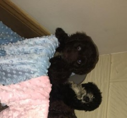 Pets  - COCKAPOO PUPPIES READY NOW
