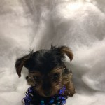 Miniature Yorkshire terrier boy puppies