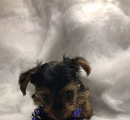 Pets  - Miniature Yorkshire terrier boy puppies