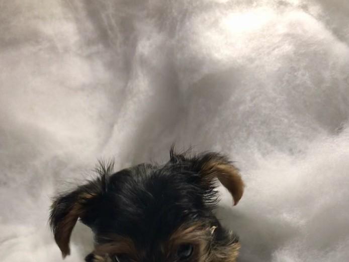 Miniature Yorkshire terrier boy puppies