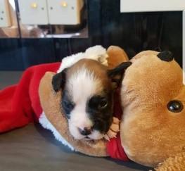 Pets  - Quality kc reg boxer puppys-
