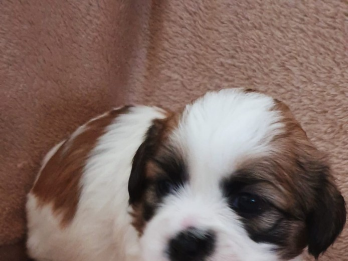 Shihtzus girls and boys available