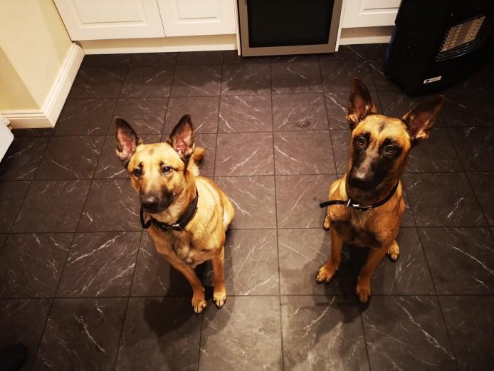 Belgian Malinois Puppies Lancashire