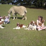Welsh Springer offered at stud