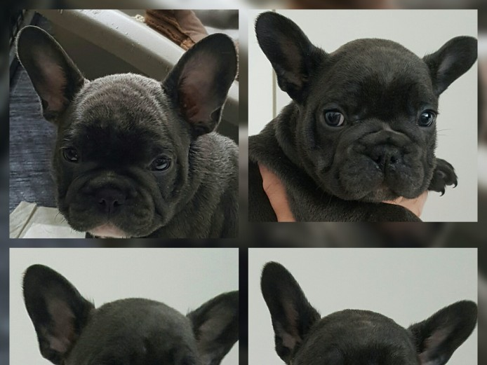 4x females and 1x male blue french bulldog puppies