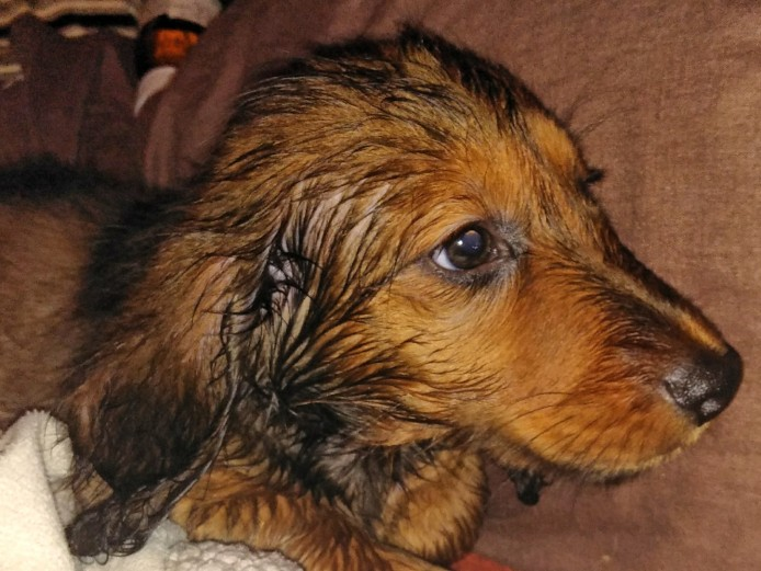 Standard Long haired Dachshund Pups from KC Assured Breeder