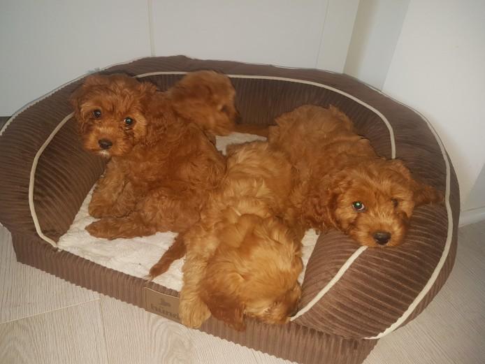 BEAUTIFUL RUBY CAVAPOO GIRLS