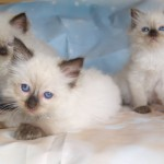 Full pedigree GCCF registered Ragdoll kittens ready 14th Jul