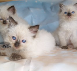 Full pedigree GCCF registered Ragdoll kittens ready