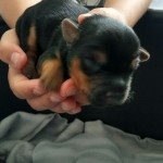 Beautiful Yorkshire Terrier puppies!!!