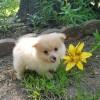 Pets for Sale - 5 Brillliant Teacup Pomeranian Puppies For Sale