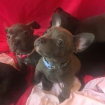French Bulldog X Staffy Pups for Sale, Ready Now