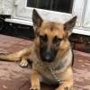 Pets  - 14 month old female german shepherd